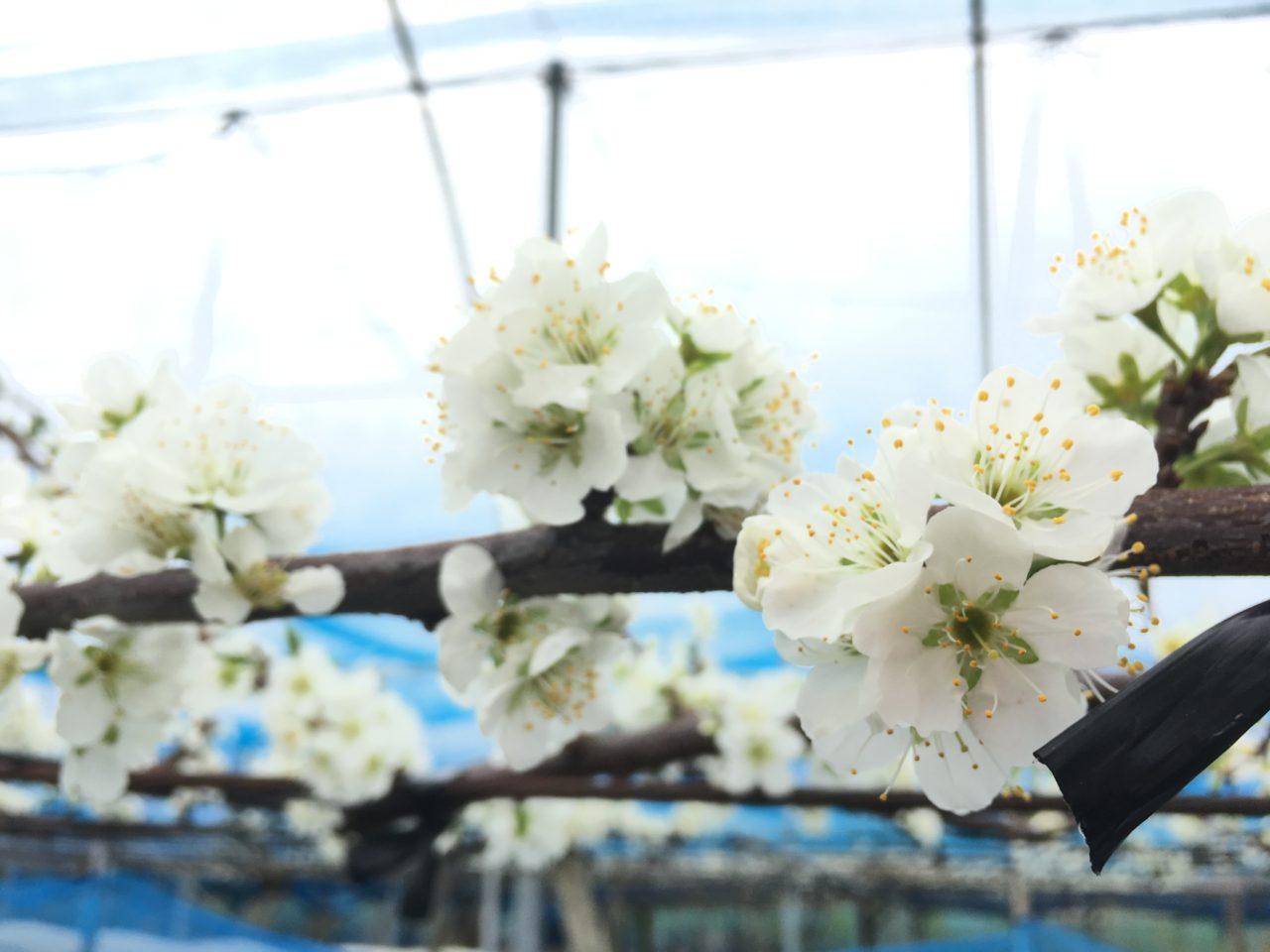 石村果樹園でお花見